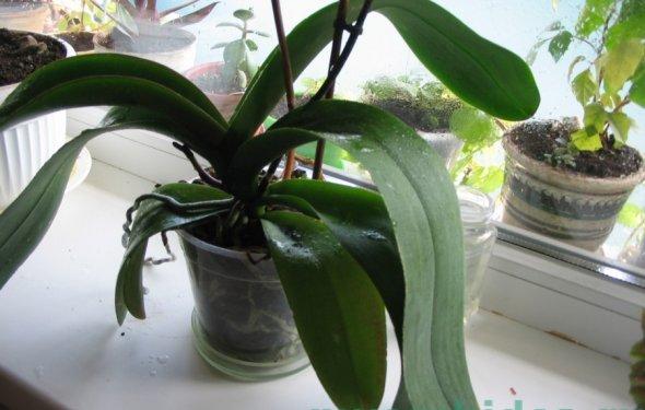 Орхидея после цветения фото