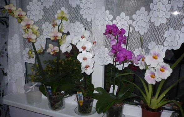 Фаленопсис уход в домашних