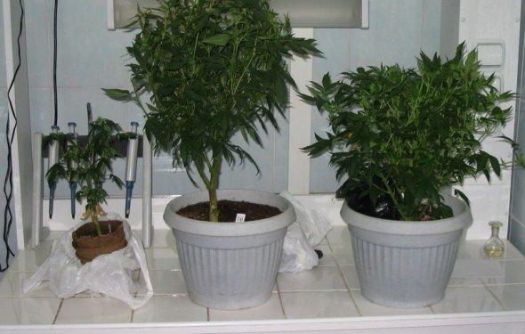 Как посадить марихуану в