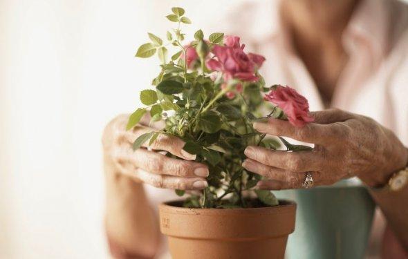 Как ухаживать за розами в