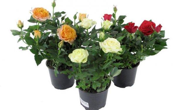 Купить комнатные цветы в