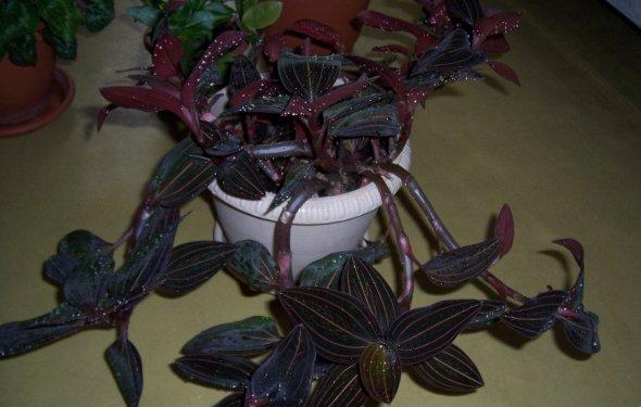 Орхидея: уход в домашних